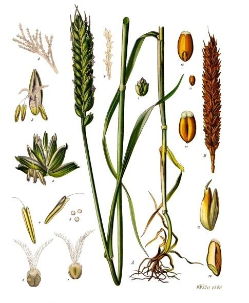 jour du blé - 29 messidor