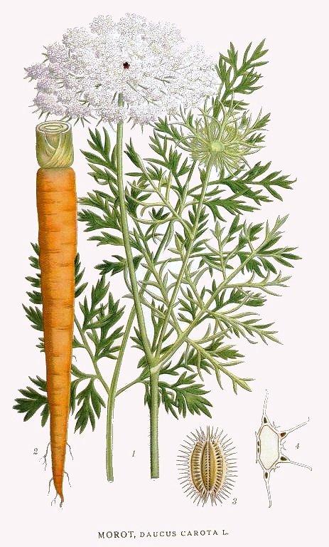 7 vendémiaire - jour de la carotte