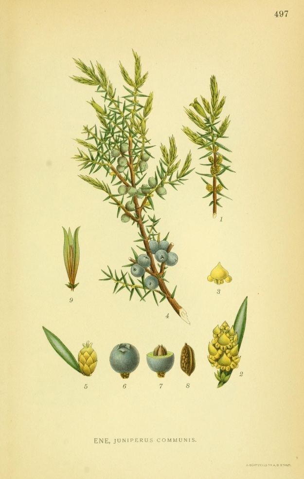 Juniperus communis XL